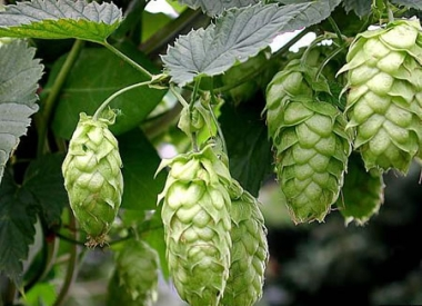 Learn about the Fuggle Hop variety
